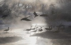 COLORADO geese in the mist